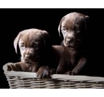 Two Chocolate Labrador Puppies in a Basket – 18″W x 14″H – Peel and Stick Wall Decal by Wallmonkeys